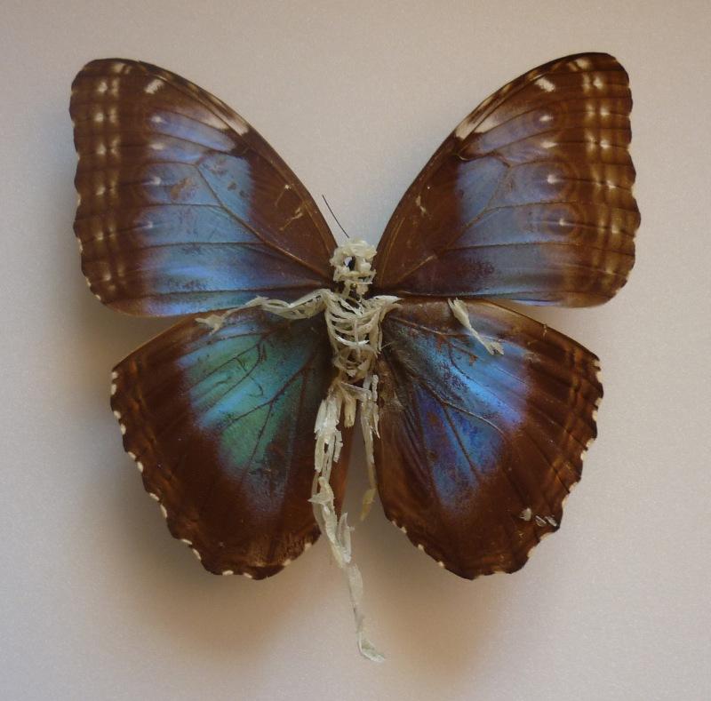 R+®paration de papillon 2_2012_Papillon abim+®, ongles, peaux mortes, +®pingle et bo+«te +á sp+®cimen, 32 x 32 x 7 cm _collection priv+®e_-® Lionel Sabatt+®
